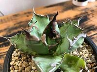 アガベ チタノタの品種についてです。 写真のチタノタの品種(種類)をお教え願います。 よろしくお願い致します ♂️
