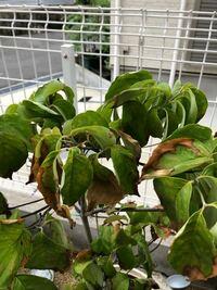 鉢植えのハナミズキについて教えて下さい。最近ずっと雨のせいか葉が冬みたいに枯れてきました。この季節一日一回水やりで5年ほどきましたが、こんな長い雨は初めての為枯れてきたんでしょうか? 根腐れ?  わかる方教えて下さい