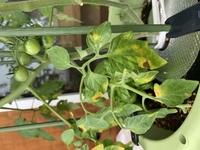 ミニトマトの葉っぱです。病気ですか?