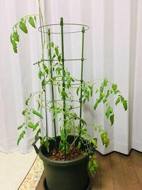 鉢植えのミニトマトについてです。 5/3に10cmほどのミニトマトの苗を買って、3ヶ月ほど10号鉢で育てています。土はカゴメのトマトの土を使い、水は3〜5日に1回あげて、脇芽かきはしてます。茎は支柱に螺旋状に巻いています。  晴れの日はベランダに出しますが、ほとんど部屋の中で育てているためか、いつも葉っぱがしんなりしてて蕾がなっても茶色くなって花は咲きません。エアコンはつけていません。  何...