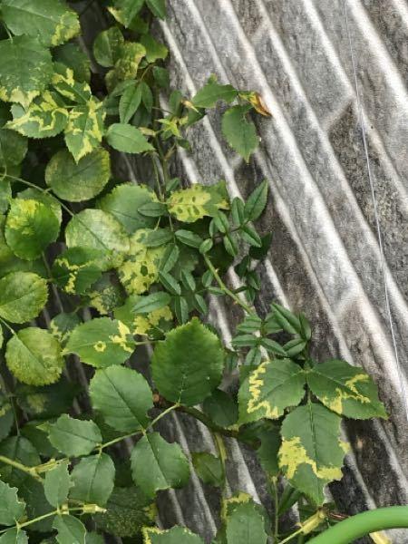 地植えして4年ぐらい経つバラ、ソフィーズ パーペチュアルですが、毎年、花後に葉っぱが画像のようになります。 原因は何でしょう?