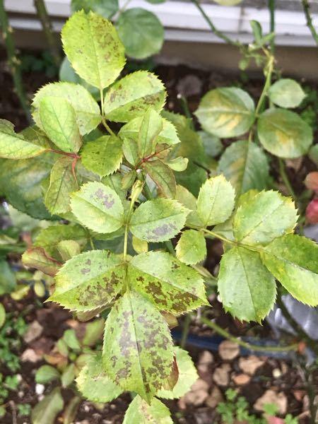 バラ、ビブレバカンスの葉に黒っぽい模様ができて、葉が落ちてしまいます。 黒星病ともちょっと違う気がしますし、最初は肥料焼けかなと思ったのですが、何かの病気でしょうか?