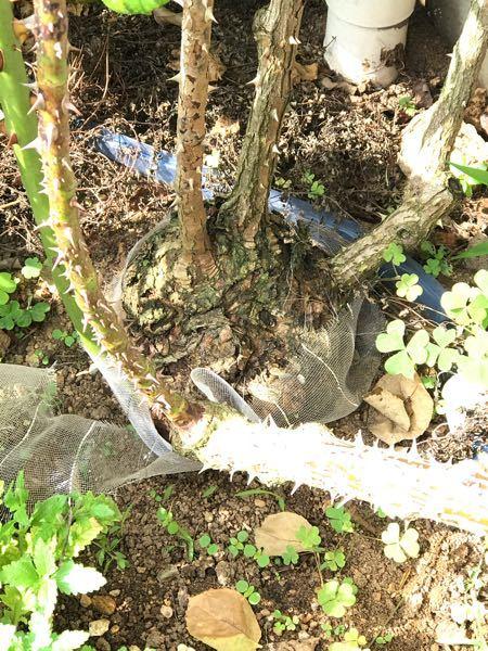 4〜5年ほど前に地植えしたクリムゾンスカイの株元に大きなこぶみたいなのがあります。 大苗を買った時点ですでに小さいのがあった気がしますが、地植えして、だんだん大きくなってきました。 根頭がんと...