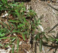 植物の名前を教えてください。 兵庫県宝塚市の荒地で見つけました。 クサネムでしょうか?