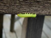 庭にいた毛虫です。 近くにシマトネリコの木がありますが、スズメガの幼虫ではないような? ご存知の方教えてください。