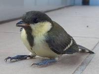 スズメサイズの足の青い小鳥の名前を教えて下さい。