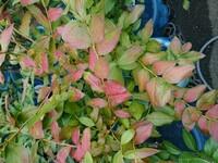 ブルーベリー(ノーザンハイブッシュ系)の葉が赤くなってしまいました。 一月ほど前にはそれほどでもなかったですが、今は赤くなった葉がとても多くなりました。 用土が合わない(酸度不足)、コガネムシ幼虫と...