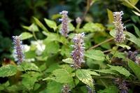 こぼれ種で咲くシソ科のこの植物は何でしょう?~