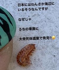 添付写真にでている、エビの正体を調べている方がいらっしゃいます。このエビの詳細をご存知方、お教えください。