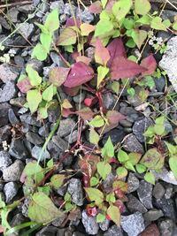 この植物、雑草の名前はなんというのでしょうか?赤い茎と葉っぱが特徴的です。