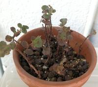 セダム類の何かでしょうか?多肉植物の一種だと思うのですが、画像の植物の名前を教えてください。  また、日当たりと水についてもアドバイスいただけると嬉しいです。
