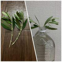 【至急】オリーブの挿し木についてです。 先程挿し穂を、メネデール20:水2000の100倍希釈水に 水挿ししてます。  この回答が来次第鉢上げというか、ペットボトルで発根を促そうかなと思ってます。  そこで、今の...