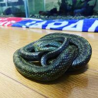 ヘビについてです。 アオダイショウは毒を持っているヒキガエルを食べたりするんですか?