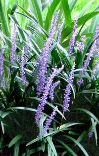 花の名前を教えて下さい。 添付した花の名前を、ご存じの方がいられたら教えて下さい。 今(8月)咲いている紫色の花ですが、後ろには別の花の葉が見えています。 よろしくお願いします。
