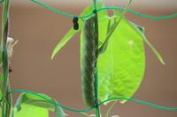 このイモムシは何でしょうか?   今朝、育てているアサガオの茎に貼り付いていて ビックリしました。   ①このイモムシはどんなチョウチョになるのでしょうか? ②イモムシの左に、駄菓子のムギムギみたいな...