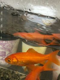 金魚にホクロの様なものが出来ています。 病気ですか?