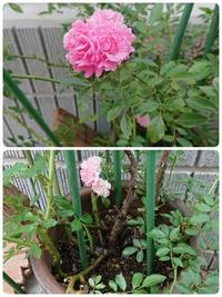 この薔薇の詳細を教えてください。