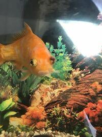 金魚のポップアイについて質問です。 一昨日から、金魚の左目がおかしです。 ポップアイでしょうか? 写真を載せますので詳しい方見て頂けるとありがたいです。