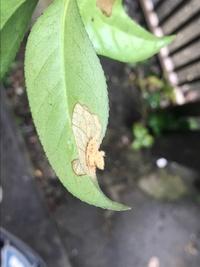 庭の椿についていたのですが、写真の茶色いふわふわはなんでしょうか? 毒があるかもと思い廃棄しています。