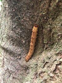 この芋虫はなんという虫の芋虫ですか??