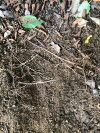 庭木の根もとに紫陽花を植えたいのですが、掘るとすぐに大小の根っこにぶつかってしまい、全くスペースを確保できません。 何かアドバイス頂けたらと思います。