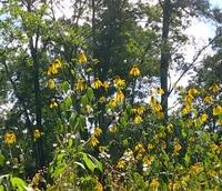 この花の名前は何でしょうか? オオハンゴンソウの様ですが、調べてるうちによく分からなくなりました。