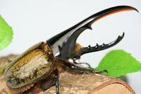 ヘラクレスオオカブト、成虫のオス(12cm)1匹に、長さ60cm 、幅30cm 、高さ35cm の水槽(ケージ)のスペースは、広すぎますか?