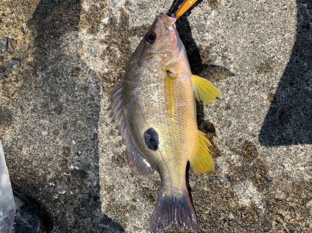 釣りで釣れた魚について質問です この魚はイッテンフエダイでしょうか?クロホシフエダイでしょうか?