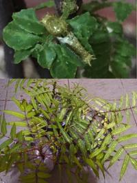 ★ニームオイルの効果について★  *注意:虫の画像あります!  いつもお世話になっております。 先日葉を復活させていた山椒にカラスアゲハの1齢幼虫が何頭も着いていたので、餌にどうかと 近所の方が山に自生していたカラスザンショウの小苗を育てたものを持ってきてくださいました。 持ち帰ったときはもっと小さかったのでニームオイルで虫除けをして育てていたそうです。  そこで質問させてい...