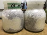 菌糸ビンでオオクワガタの幼虫を飼育してるのですが菌糸ビンを見たら写真のような食痕みたいなのが出てきました。 一齢幼虫を入れてまだ3日なので食痕では無いと思うのですが劣化でしょうか? ? またこの場合...