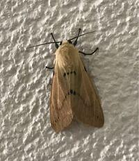 蛾の種類  写真の蛾について 種類が分かる方、ご教示ください。  本日佐賀県で撮影したものです。 調べた結果、ヒトリガ科に似た種類が数種いましたが、よく分かりませんでした。