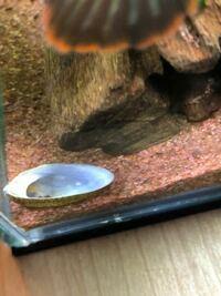 スネークヘッドはフネアマ貝を食べますか?? 3日前よりフネアマ貝が☆寸前でガラス面に付けようとしても付かない状態でした。 昨日見たらアワビ状態でガラスにはくっついていませんでした。 そして今日みたら中身がそっくり無くなっていました! 同居しているのは ニューレインボースネークヘッド 1匹 カバクチカノコガイ3匹 です。 ホネ?蓋?みたいなのは近くに転がっていましたがアワビの身の部分が見当たり...