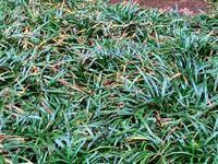 タマリュウ (竜の髭)が枯れてきました。昨年秋に業者に植えてもらったタマリュウ 。隙間なく植えられており冬はきれいでしたが、梅雨の頃よりだんだんと茶色の部分が多くなってきました。朝一回の水遣りをしてい...