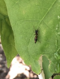 アリの種類について質問です。 庭に最近、体調1センチ程の大きなアリが来ますが、このアリは何という名前かご存知の方いらっしゃいましたら教えてください。