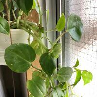 この観葉植物の名前は何でしょうか? 1年前くらいに通りがかりの花屋さんで買いました。朝しか陽が当たらない部屋でどんどん成長してくれており、同じものが欲しいと思っています。  ツルは最初は真上に元気に伸...