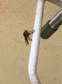 洗濯物を干そうとしたらかなり大きめの虫がベランダにいました。 トンボのような蜂のような。 この虫はなんですか? これから洗濯物を干すのですが、刺されたりするんでしょうか。