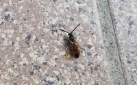この虫はシロアリですか? 夏にもいますか? ヤマトシロアリですかね??  この虫が居たということは、もう被害が出ていますか? 心配です。