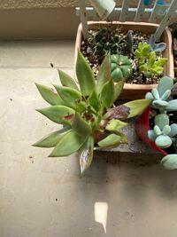 多肉植物の葉の色が茶色くなって、その部分がシワになっています。 何が良くなかったのでしょう。 置き場所はベランダですが、直射日光は当たってないと思います。 ベランダの柵がガラスなので、そのガラスの影になる場所に置いています。 水やりは3日に1回ぐらい。 鉢から抜いてみると土は下まで軽く湿っている感じで、乾いてもなく、ビショビショでもありませんでした。