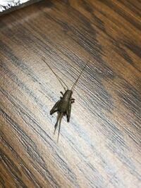 この虫ってカネタタキですか?