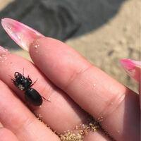 ゴミムシの種類 写真のゴミムシについて 種類が分かる方、ご教示ください。  本日福岡県の海岸の砂浜で見付けました。 一瞬クワガタかと思いましたが、よく見るとヒョウタンゴミムシのようです。 ヒョウタンゴミムシにも色々種類がいるようなので、詳しく分かる方、ご教示ください。