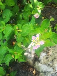 この植物について教えて下さい 花壇などでもよく見かけますが、葉っぱをちぎると大葉(青じそ)のような匂いがします。 これってもしかして食べられるんでしょうか?