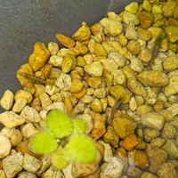 このミナミヌマエビはメスでしょうか? 写真の3匹中右のは卵を産んだのでメスですが 左のもメスでしょうか?  5匹購入してメスが1匹だけだったのですが 最近もう1匹メスっぽくなってきたの が写真の左のエビ...