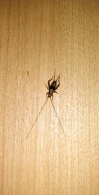 家に出たのですが、何の幼虫でしょうか? コオロギ系、バッタ系なんでしょうけど、分かる方いますか?