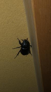 この虫がなんの虫か教えてください!  カブトムシのメスかな?とは思ったのですが私が知っているカブトムシのメスに比べると小さいです。2センチほどしかありません。  昆虫に詳しい方ぜひ お願いします!