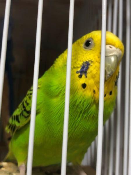 セキセイインコ の羽がパサパサしている? 写真でわかりにくかったらすいません。 黄色から緑になる境目あたりから下の部分の毛がなんだか数日前からパサパサしているような感じです。 元気もあるし、餌...