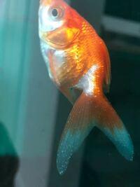 4cm(尾びれ含まず)程度の金魚(琉金)が白点病を患いニューグリーンFで薬浴しています。 薬浴1週間ですが白点が減らずに重症化しているようです。  50cmスリム水槽に砂利・水槽ごと薬浴していて(水量約20L)、1...
