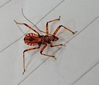 【虫・閲覧注意】 この虫はなんという虫でしょうか? 家の外壁を這っていたところを発見しました。 普通のアリくらいの大きさで赤色だったので、 万が一ヒアリだったらと思い捕獲したのですが、 外見を見る限りヒアリではなさそうです。  しかし色合いといい、腹部の禍々しい模様といい、 何か危険な昆虫なのではという不安が残ります。 ご存知の方がいらっしゃいましたら教えて頂きたいです。