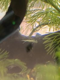 屋内の水槽内に突如虫が現れたのですが、この虫はなんでしょうか?   今朝、メダカに餌をやっていた時に偶然見つけました。 これは何の虫ですか?メダカに害はありますか? また、発生源も不明です。 水槽は...