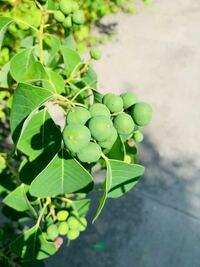 木の実は何の実ですか? よろしくお願い致します。