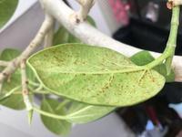 ファカスベンガレンシスです。葉に斑点が出てきました。病気でしょうか?対処方法教えて下さい、よろしくお願いします。